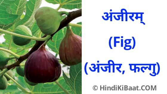 Fig in Sanskrit. अंजीर का संस्कृत में नाम