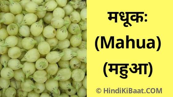 Mahua in Sanskrit. ।महुआ को संस्कृत में नाम