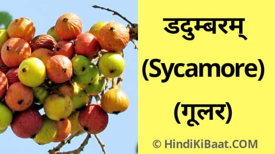 Sycamore in Sanskrit. गूलर का संस्कृत में नाम