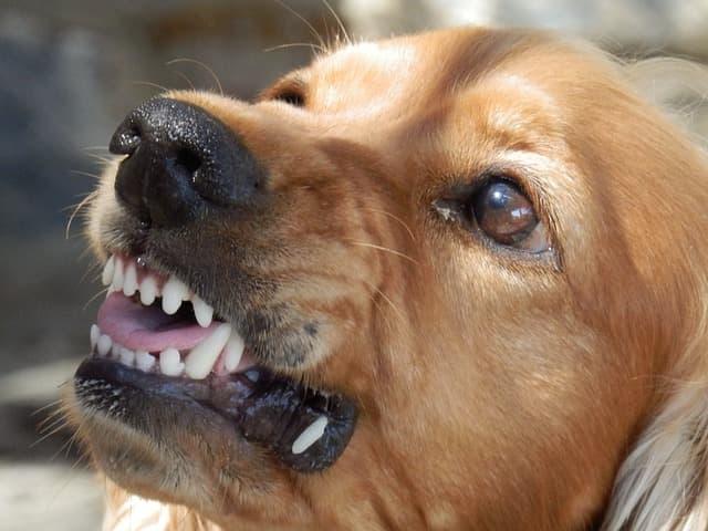 पागल कुत्ता